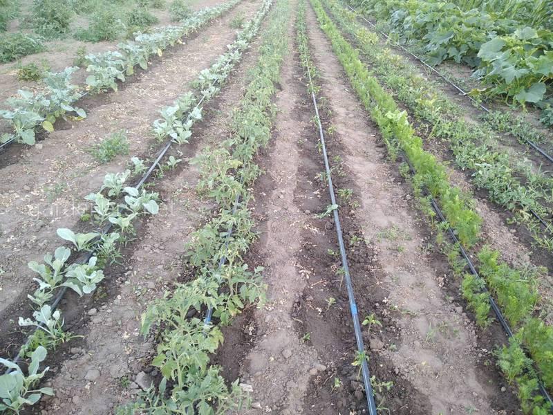 Как рассчитать норму потребности воды в овощеводстве?