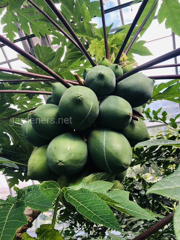 Папайя: поширення та умови вирощування