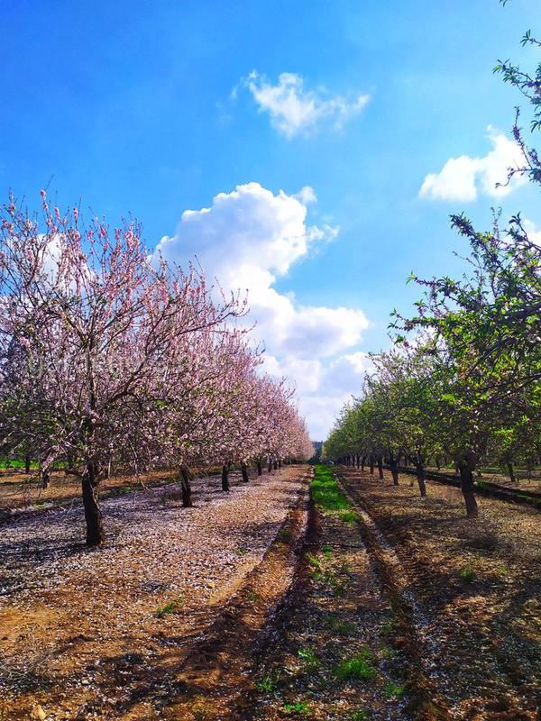 Какие агроэкологические условия выращивания миндаля?