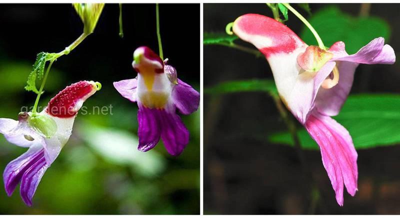 Одна з найрідкісніших рослин у світі - квітка папуга