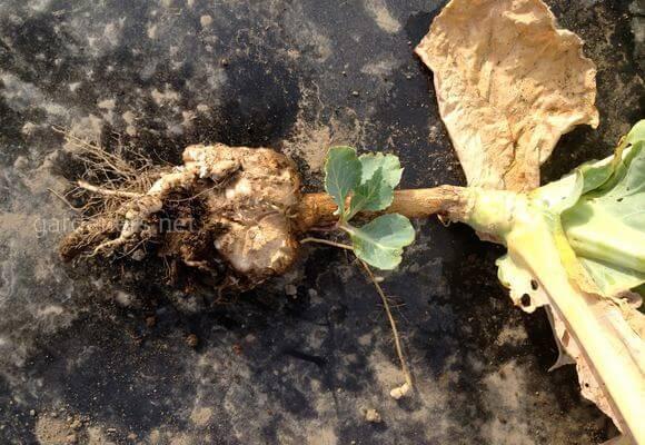 Как защитить урожай от капустной грыжи?