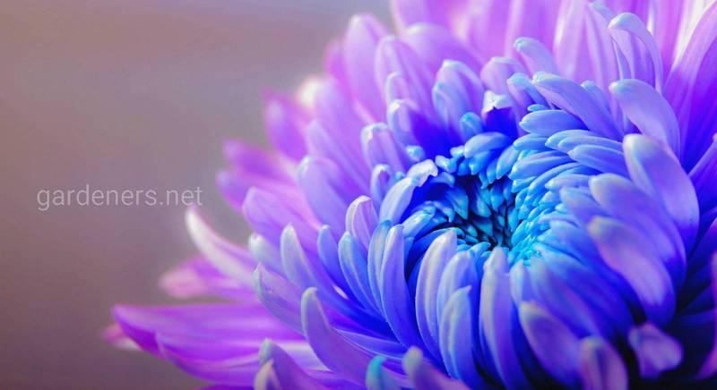 Найкрасивіші хризантеми