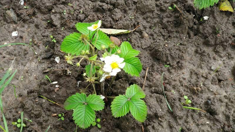 Как подготовить почву для посадки и посадить землянику?
