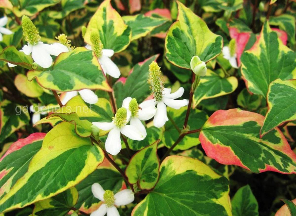 Хауттюйния цветение