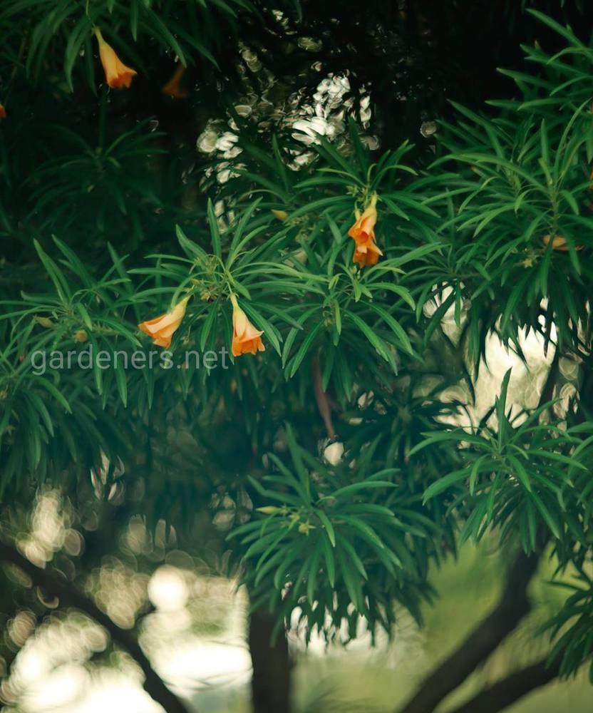 Теветия — крупное растение. (2)