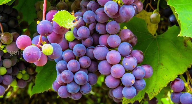 Сорта винограда с крупными ягодами.jpg
