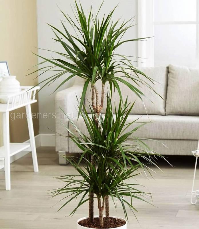 """""""Самка дракона"""": невибаглива рослина, яка прикрасить будь-яку кімнату"""