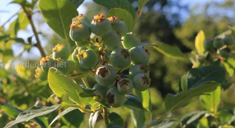 ТОП-7 самых неприхотливых ягодников для дачи
