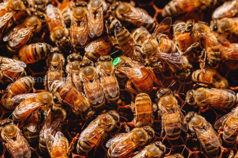 Пчелиная матка  в деле. 🐝