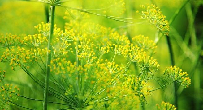 Как и когда собирать урожай укропа и семена в зависимости от способа выращивания?
