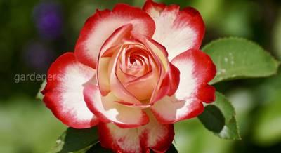почему роза не пахнет.jpg