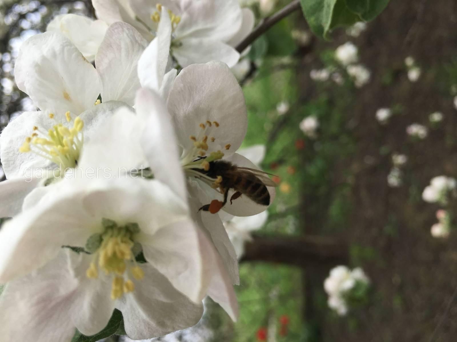 Сбор нектара на яблоне