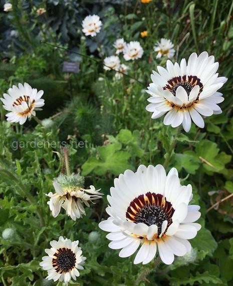 Арктотис выращивание и уход за растением
