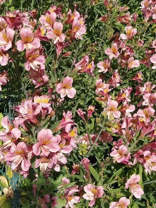 Альстромерия - экзотическое украшение вашего сада!