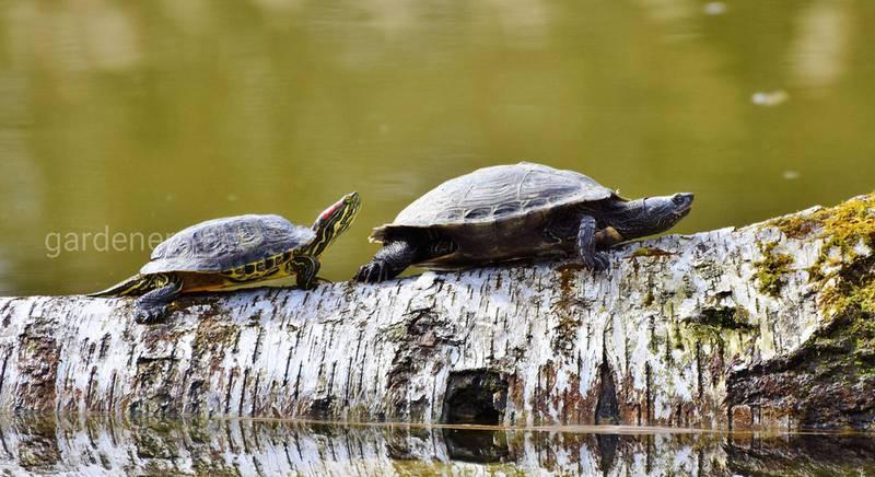 Прісноводні ставкові черепахи — популярні різновиди та вимоги до життєвого середовища