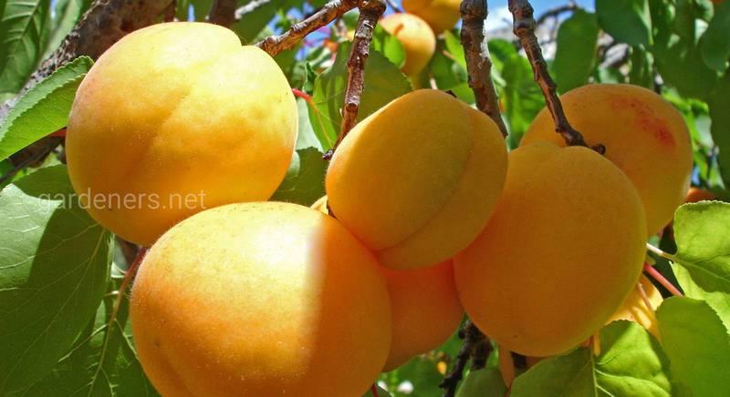 """Підживлення плодових дерев """"весна-осінь"""""""