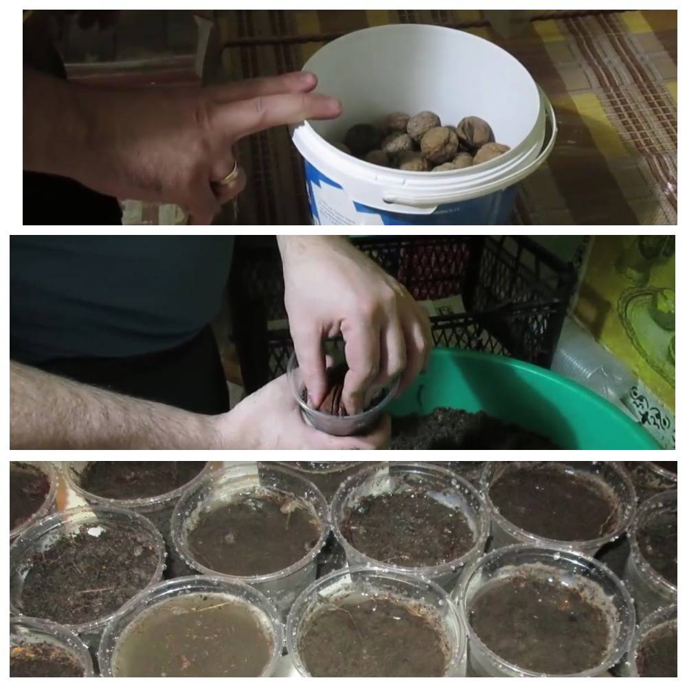 проращивание ореха дома