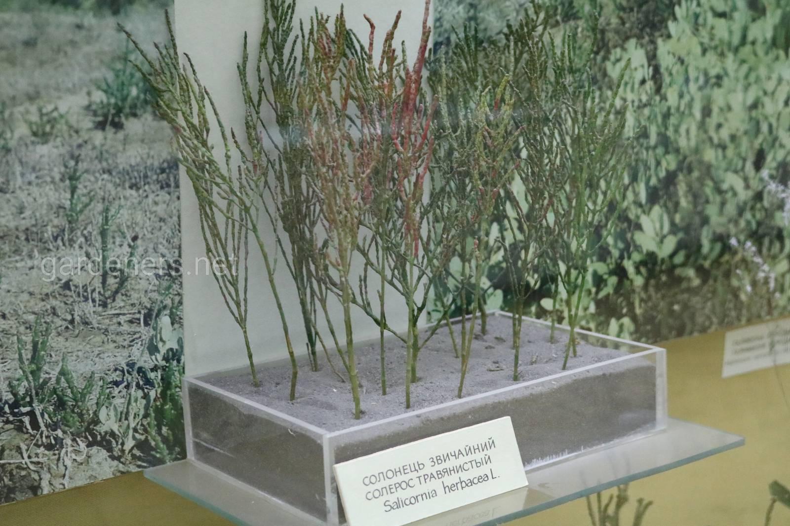 Солерос европейский (солерос травянистый)