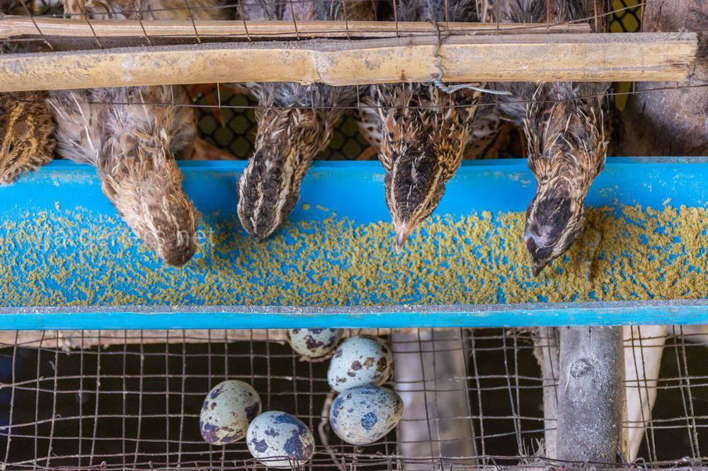 Облаштування кліток для утримання птахів