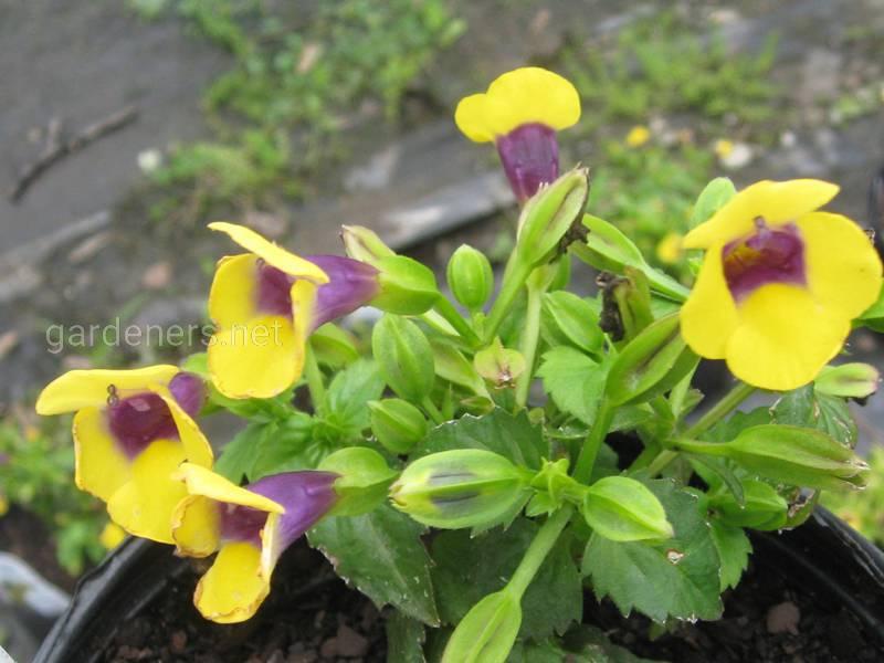 Жовта Торенія (T. flava)