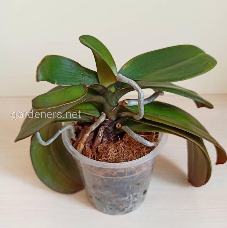 Корневая система орхидеи