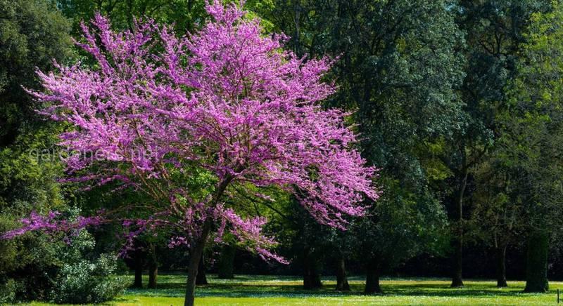 Церцис европейский – дерево Иуды