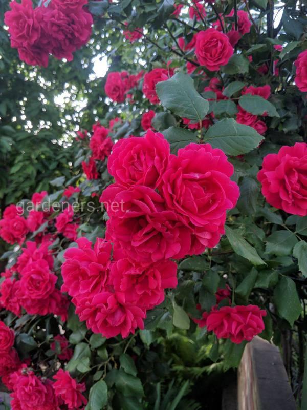 Коли найкращий час для посадки троянд та як підготувати землю?
