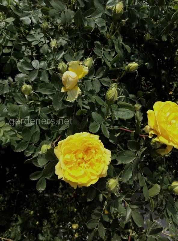 Як правильно обрізати та підживлювати плетисті троянди?