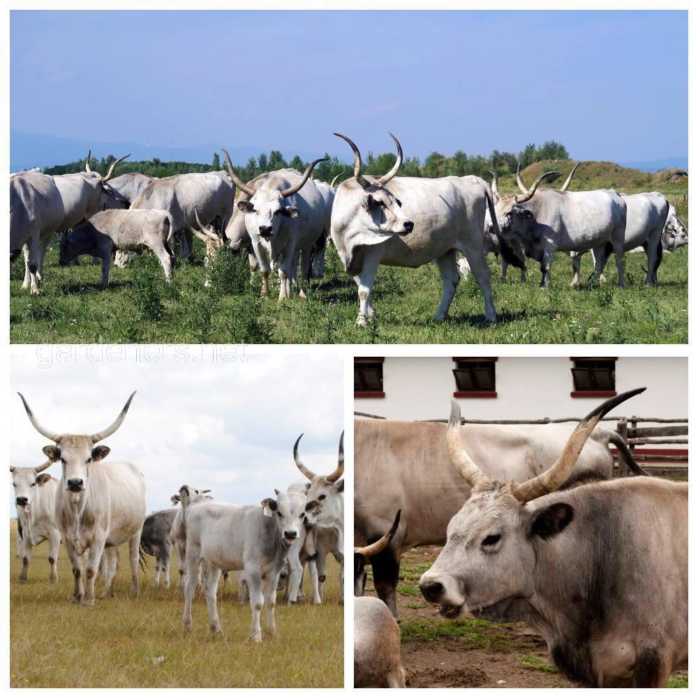 корова серая венгерская