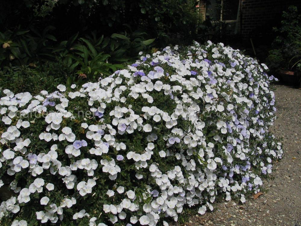 Применение в окультуривании сада