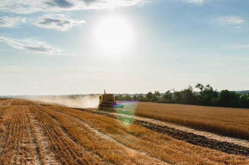 Що робити в полі після врожаю пшениці?