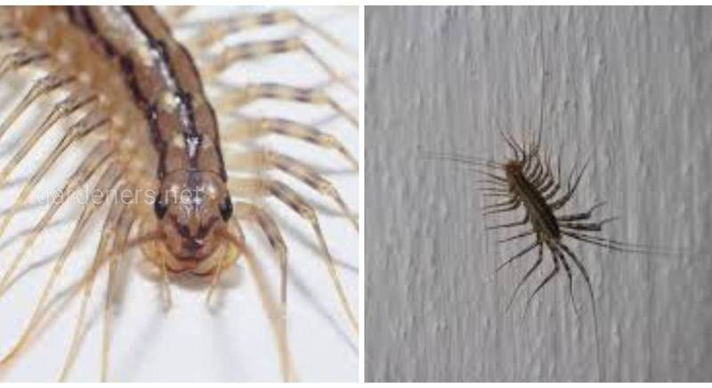 Знайомтесь: мухоловка звичайна - найшвидша багатоніжка, яка приносить удачу у дім