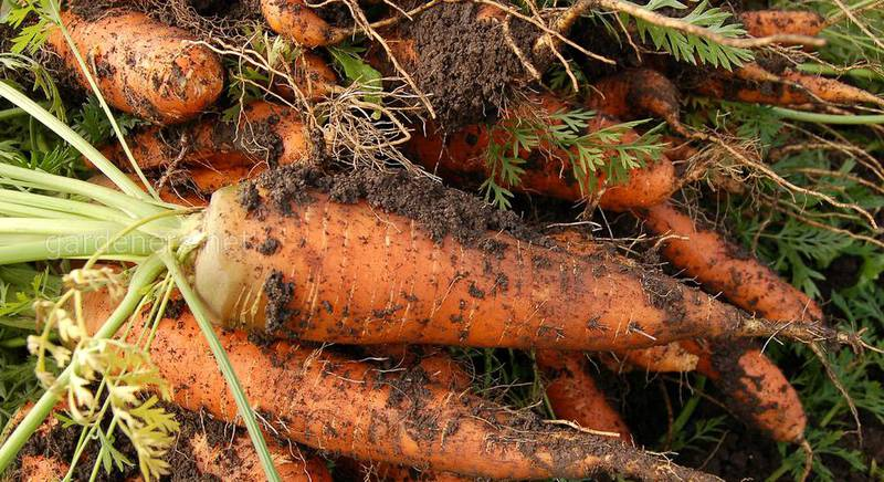 Болезни моркови и правила успешного хранения