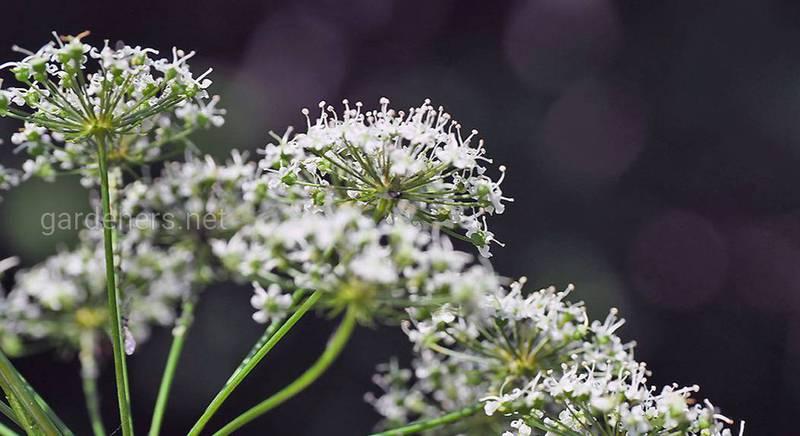 Цикута или вёх – самое ядовитое растение на территории Украины, что растет под ногами