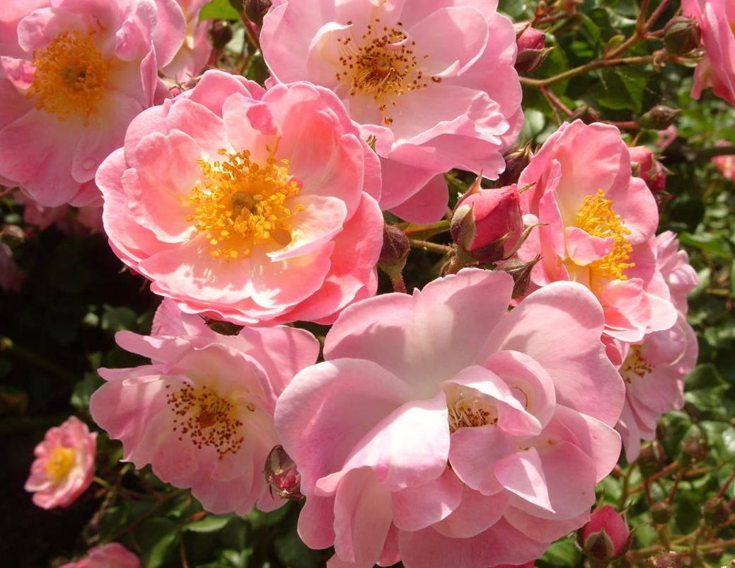 Сорт почвопокровной розы Fleurette