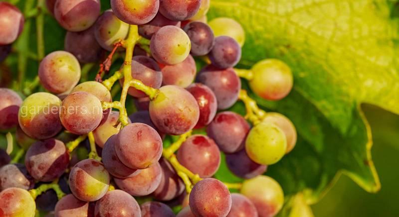 Удобряем виноград: что вносить, когда и в каком количестве