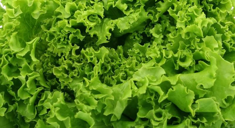 Лучшие сорта салата, которые подойдут для выращивания на балконе