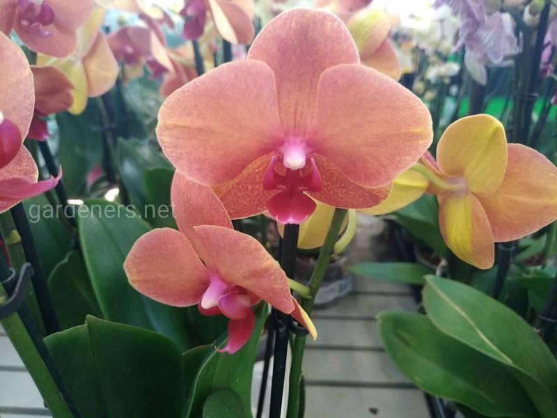 Які умови необхідні для успішного вирощування земляної орхідеї?