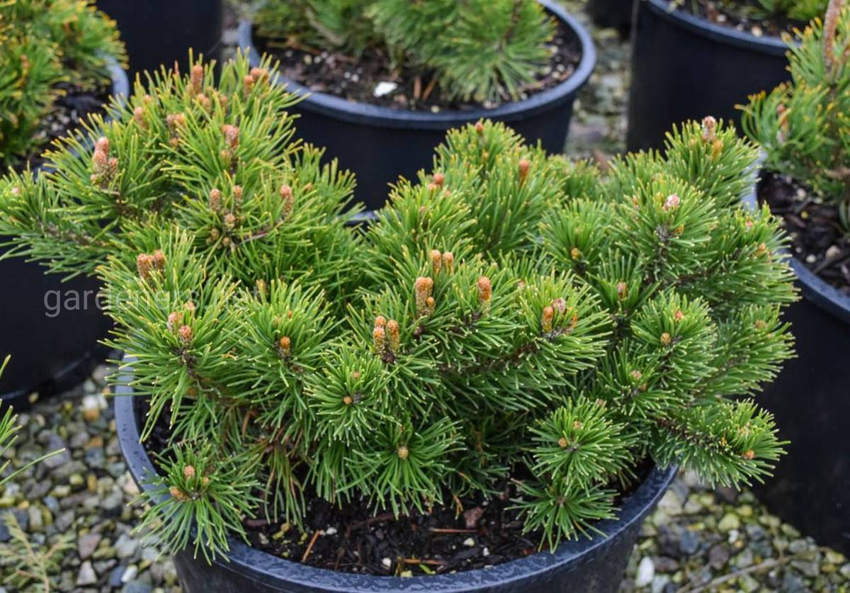 Mountain pine pumilio