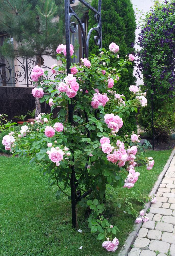 роза Jasmine