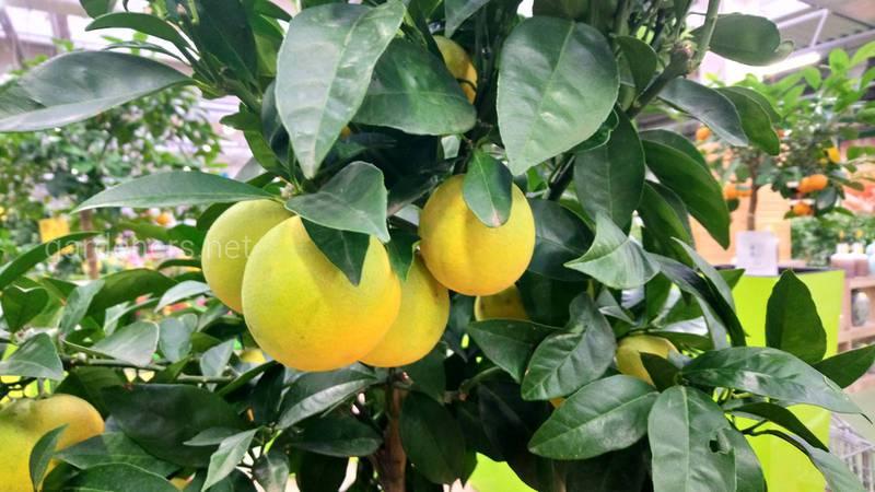 Чому сповільнюється дозрівання лимонного дерева?