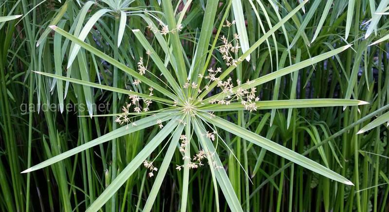 Циперус: сорта и виды одного из самых древних растений