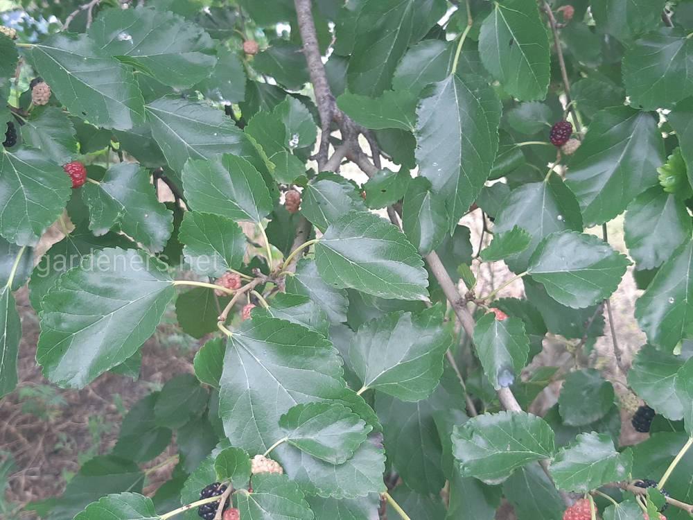 Лечебные свойства листьев шелковицы