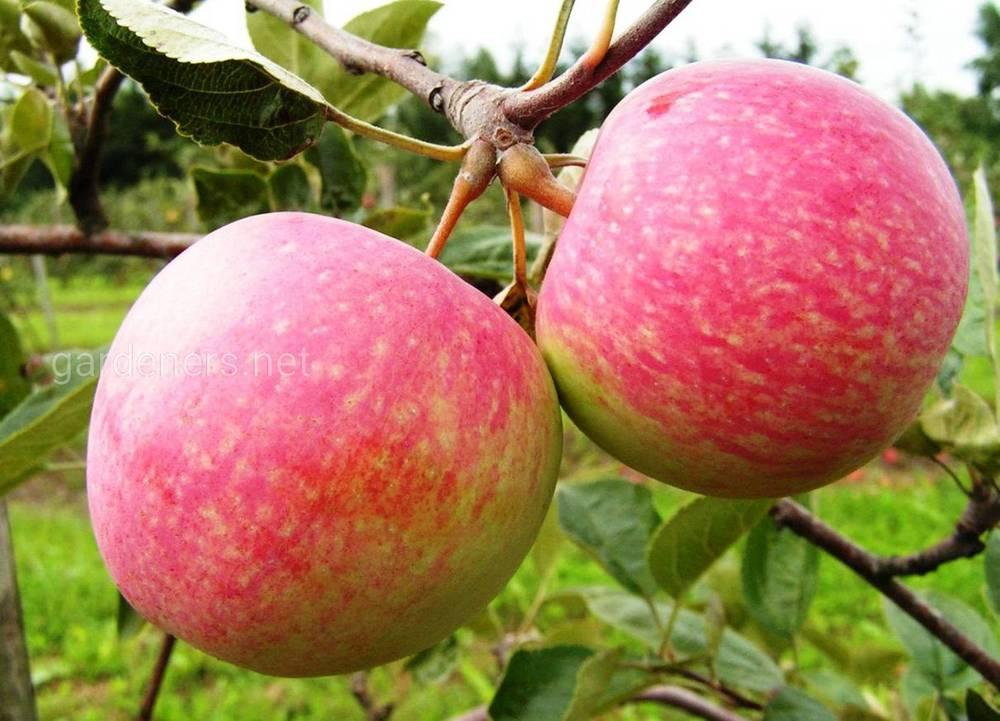 сорт яблони Балтика