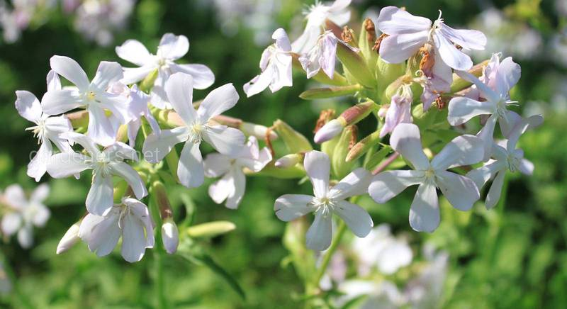 Вирощування мильнянки (Сапонарії) в садових умовах