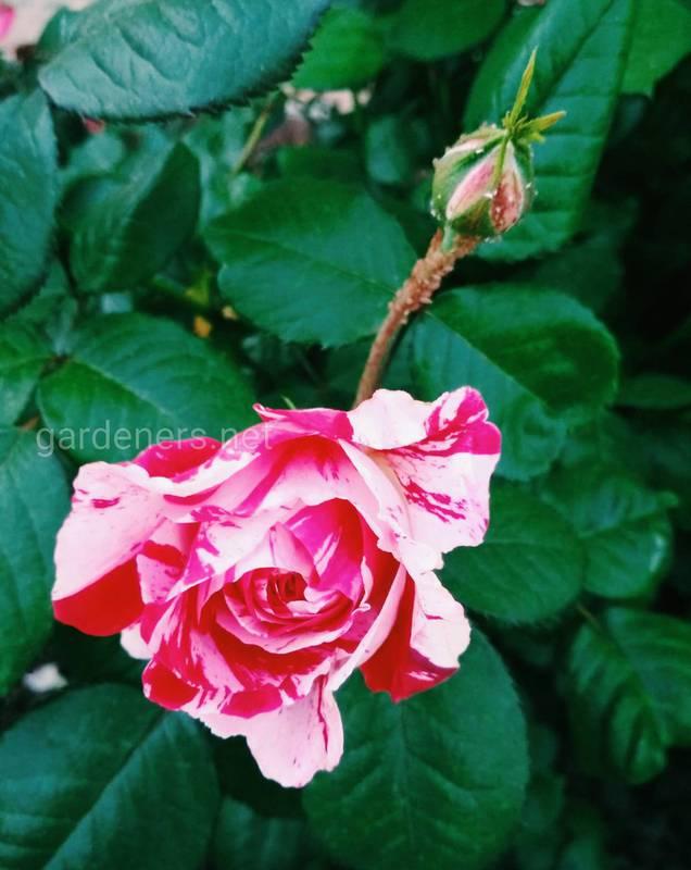 Як виростити мініатюрну розу в горщику?