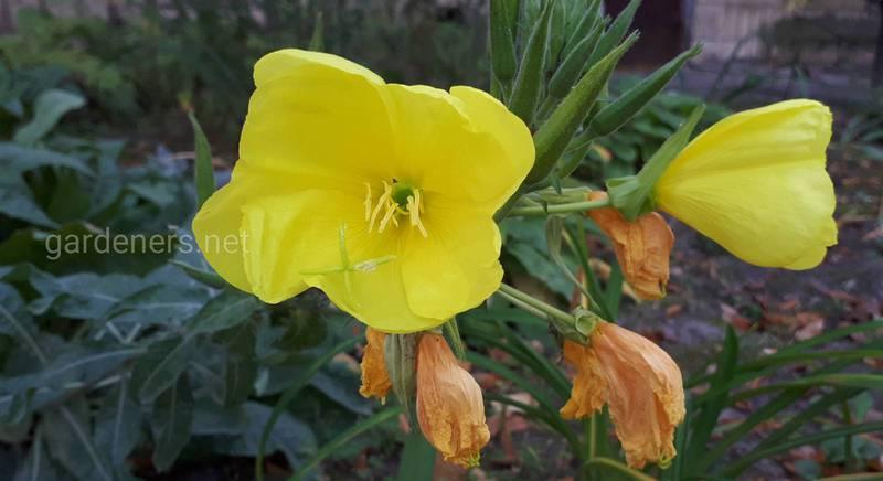 Энотера - вечерняя свеча или ночьной цветок