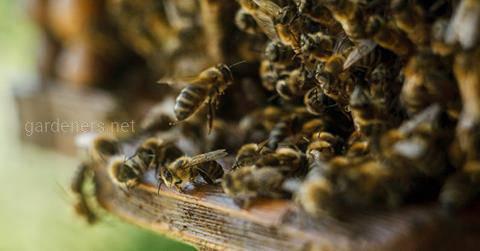 Бджолина отрута в малих дозах - лікарський засіб!