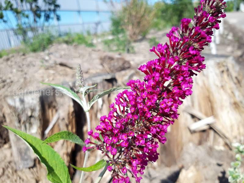 Вероника лекарственная - одно из самых известных лекарственных растений