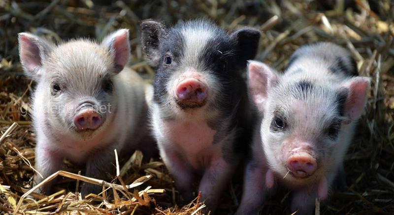 Мини-пиги: свинья в доме
